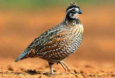 10 Ide Puyuh Coturnix Burung Puyuh Burung Habitat