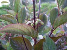 Cornus alba 'Kesselringii'/Black twigged Dogwood Here you can see the leaf and flower. (bare twigs shown in other photo)