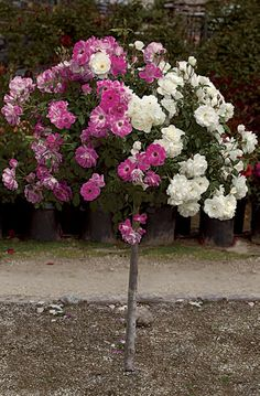 Tree Roses, with their varying trunk lengths, offer a variety of unique ways to add color to your home and garden. They look great around pools and offer a cheerful greeting when used to outline the entrance of your home or garden.    http://www.bakernurseryaz.com/