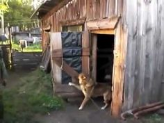 """""""Собака двери закрывака Dog does not want to bathe"""""""