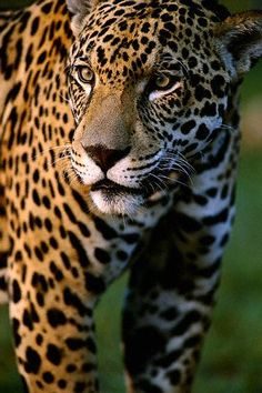 What a beautiful Jaguar. He's a little easier to see than the one in Paca's video!