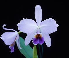 Exotic Flowers, Purple Flowers, Orchid Flowers, Cattleya Orchid, Orchidaceae, Flower Wallpaper, Botany, Pretty Pictures, Trees To Plant