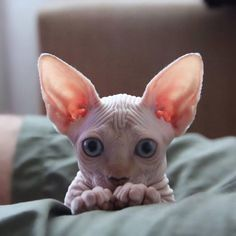 Sphynx cats are awesome
