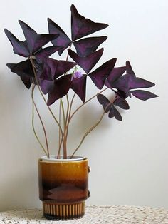 Oxalis triangularis purple clover bulb substrate drains in pot to return in w. - Home Accessories Oxalis triangularis purple clover bulb substrate drains in pot to return in w. House Plants Decor, Plant Decor, Green Plants, Potted Plants, Oxalis Triangularis, Plantas Indoor, Decoration Plante, Interior Plants, Outdoor Plants