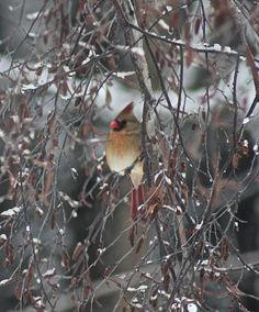 Cardinal form our garden via Louise Montgrain