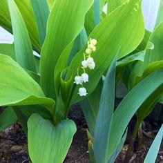 Joli muguet Plants, Lily Of The Valley, Pretty, Flora, Plant, Planting