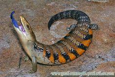 Blue Tongue Skink from Australia - Northern Blue Tongue Lizard Tiliqua scincoides intermedia.