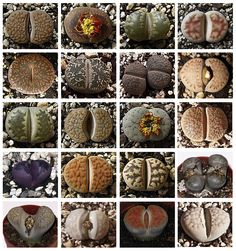 Website in Spanish about everything lithops. Very good all around resource. manolithops.es