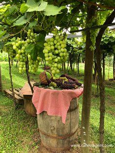 Programação Vindima Garibaldi 2020 - serra gaúcha Rio Grande Do Sul, Plants, Red Wine, Harvest Grill, Wine Pairings, Nature, Brazil, Flora, Plant
