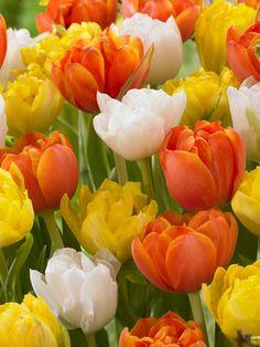 Beautiful Blend Lake of Fire -- Bluestone Perennials Yellow Tulips, Tulips Flowers, All Flowers, Amazing Flowers, Daffodils, Spring Flowers, Beautiful Flowers, Tulips Garden, Planting Flowers