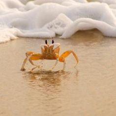 """""""crabs walk sideways and lobsters walk straight....""""  Herman and Sally via The Smothers Brothers!!!"""