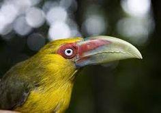 Tucán Banano. Pteroglossus bailloni . Es endémico en el noreste de Argentina, sudeste de Brasil, este de Paraguay. Su hábitat natural es la selva subtropical o tropical húmeda baja.