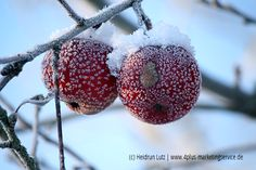Äpfel, rot, Frost, Schnee, Raureif, Winter, Weihnachten // wildeschoenheiten.wordpress.com //