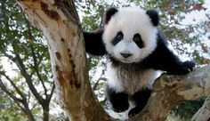 A head for heights - panda cubs quickly start to feel at ease in the trees.