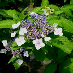 These lacecap hydrangeas are great. Many people do not recognize them when they see them.