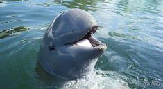 Irrawaddy-Dolphin-e1354319055298