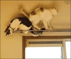 A cat falls down while trying to walk backwards over another cat while on a curtain railing