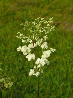 Filipendula Dandelion, Gardens, Herbs, Flowers, Plants, Dandelions, Outdoor Gardens, Herb, Plant