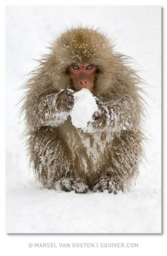 Incredible Animal Photography by Marsel van Oosten. Imagine that snow ball is a large cup of cappuccino...this is how we look on a winter's day, trying to stay warm.