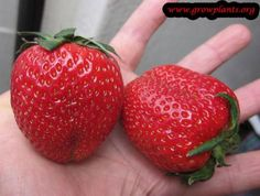 Strawberry plant - How to grow & care
