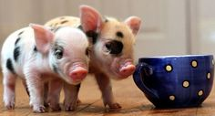 Mini micro pigs!  It's not a question of IF I'll have one, but WHEN!