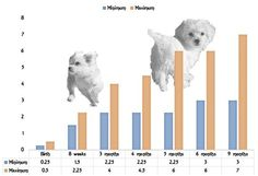 Maltese Growth Chart Puppies Puppy