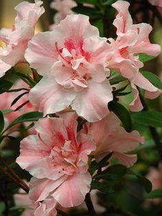 PLANTA EXTREMAMENTE TÓXICA Rhododendron sp., azaléa, rododendro (rhododendron VERY TOXIC PLANT)