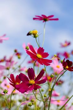 Beautiful Nature Pictures, Most Beautiful Flowers, Pretty Flowers, Cosmos Flowers, Wild Flowers, Cherry Blossom Japan, Hd Nature Wallpapers, Flower Seeds, Flower Wallpaper