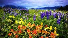 Spring flowers in Glacier Bay National Park  http://www.fandctravel.com/alaska-cruise/