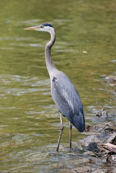 "<strong>Great Blue Heron</strong>  <em>Ardea herodias</em>  This beautiful Great Blue Heron was resting along a cove of Lake Loudon in Knoxville, TN.  These birds are sometimes mistakenly called ""cranes"". Herons eat fish, frogs, crayfish, and small e..."