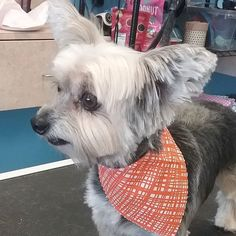 Lee Loo #tucsondoggrooming #doggrooming #doggroomer #wagsmytail A well groomed dog is a well loved dog! Call us today to schedule your dog grooming appointment 520-744-7040