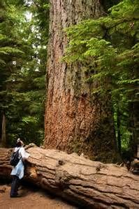 There are some pretty big trees in Cathedral Grove on Vancouver Island Cathedral Grove British Columbia Our Big Tree Heritage Vancouver Island, Canada Vancouver, O Canada, Canada Travel, Sunshine Coast, Voyage Canada, Road Trip, Western Canada, Old Trees