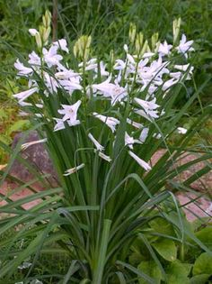 PARADISEA liliastrum (Trompet paradiisia, парадизея) These would be ideal for an old rose garden if you couldn't grow madonna lilies.