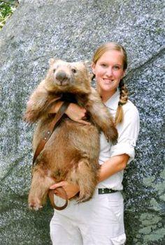 WOMBAT AT AUSSIE ZOO Irwin Family, Wombat, Queensland Australia, Love And Respect, Animals Of The World, Mammals, Cute Animals, Fox, Creatures