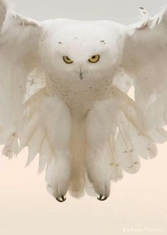 Snowy Owl...so beautiful!!