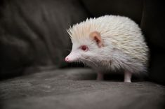 Albino animals are extremely rare to be found. Here is a a look at some of the most stunning albino animals you would have ever seen. Amazing Animals, Animals Beautiful, List Of Animals, Animals And Pets, Wild Animals, Pavo Real Albino, Albino Peacock, Albino Hedgehog, Rare Albino Animals