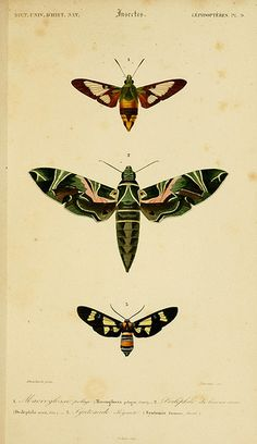 1849 Moth Moths Insect Print Bugs Antique by AntiquePrintGallery