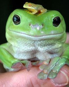 Cute Funny Animals, Cute Baby Animals, Sapo Frog, Whites Tree Frog, Pet Frogs, Frog Pictures, Frog Art, Frog And Toad, Reptiles And Amphibians