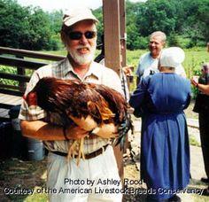 Chicken Breed: Buckeye chicken  [On American Livestock Breeds Conservancy Threatened Species List]