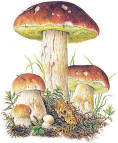 "Bildquelle: Ernst Klett Verlag – Steinpilz Source: Ernst Klett Verlag – Steinpilz ""Chiroptera Bats"" by Ernst Haeckel ImpressionEach ceramic suspension with fish and driftwood is lovinglyInspirationBall with big flowersPinnwandCeramic boat cutter Mushroom Drawing, Mushroom Art, Mushroom Fungi, Wild Mushrooms, Stuffed Mushrooms, Image Deco, Nature Illustration, Nature Journal, China Painting"