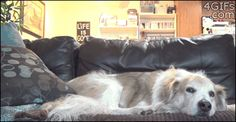 The dog looks less than amused but seems pretty tolerant of his buddy. So cute! (gif)