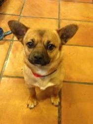 Orville is an adoptable Chihuahua Dog in Red Hook, NY. ORVILLE - Do you find yourself thinking Hobbit? Well we think if they owned dogs, they would look just like this cutie! He is FUNNY - and has a...