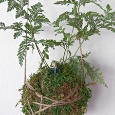 kokedama kokedama davallia foug re davallia sur boule de mousse v g tale plant sale. Black Bedroom Furniture Sets. Home Design Ideas