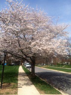 Azalea Drive - Rockville Maryland - Spring has sprung.