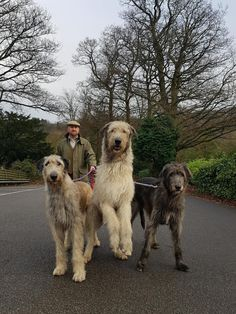Formidable beasts, the Irish Wolfhound is a stunning dog to behold. These are large creatures originating from Ireland, as the name implies. Although they were originally bred as war dogs, they began to be used for their hunting skills. As massive themselves, they were particularly adept at hunting big game. Irish Wolfhound Breeders, Irish Wolfhounds, War Dogs, Dog Walking, Dog Friends, Funny Dogs, Best Dogs, Dogs And Puppies, Your Dog