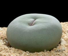Conophytum vanzylii