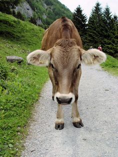 Kaddie is a Swiss brown cow. She is very nice and smart. She needs daily milking. Farm Animals, Cute Animals, Sweet Cow, Milk The Cow, Cow Ears, Fluffy Cows, Cow Pictures, Dairy Cattle, Hobby Farms