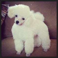 Hair Cuts Styles Poodle Ideas For 2020 White Toy Poodle, Small Poodle, Poodle Grooming, Dog Grooming, Teacup Puppies, Poodle Puppies, Poodle Haircut, Poodle Cuts, Puppy Cut