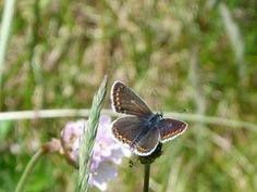 Brown Argus: the brown blue   Nature Notes from Dorset