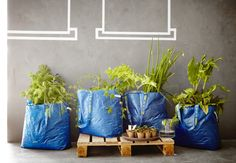 Four blue IKEA bags filled with soil and green plants. I don't know if I would do this but I'm dying laughing because I end up buying one of these every time I go to Ikea